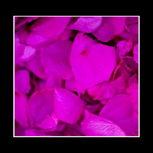 Pétales de roses éternelles